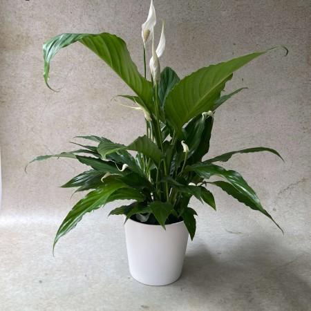 Spaththiphyllum