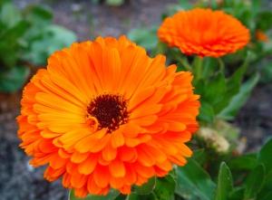 flor-de-calendula