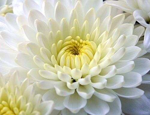 Día de Todos los Santos: ¿qué flores comprar?