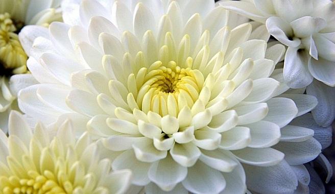 Crisantemo-la-flor-tipica-del-otono