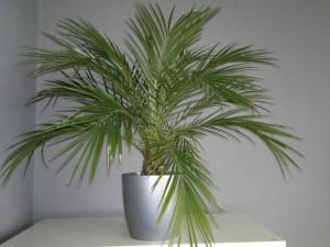 palmera datilera enana