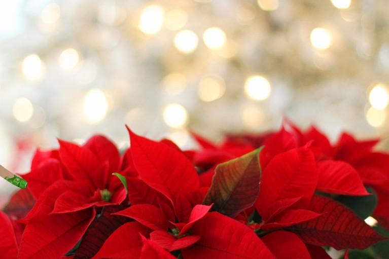 flor de pascua navidad