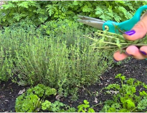 Especies de plantas aromáticas que puedes cultivar en el interior de tu casa